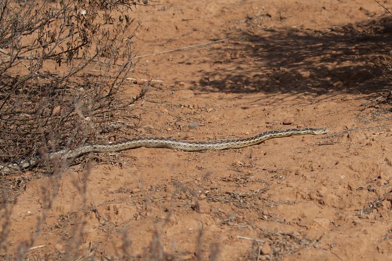 6 foot Gopher Snake