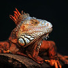 "Red Iguana: This photo just won third place in the April 2010 edition of Popular Photography in the ""Your Best Shot"" contest."