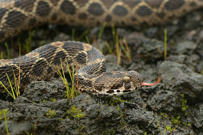 Smelling the air....Saw scaled viper