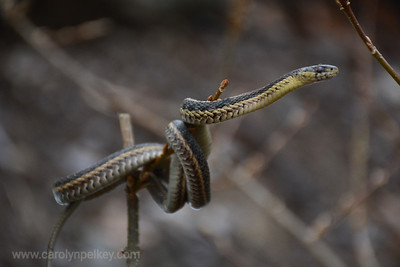 Gater Snake on a branch- March in CT