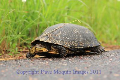 Blandings Turtle- E. Refuge Rd., Crex Meadows