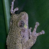 Gray tree frog taken by nature photographer Jerry Dalrymple