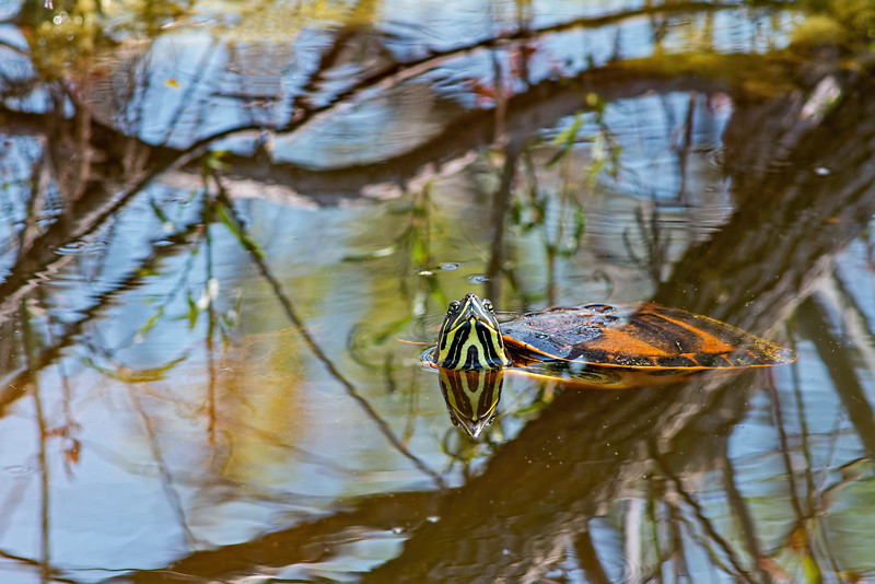 Water turtle, central Florida taken by Jerry Dalrymple