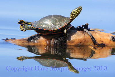Painted Turtle- Fremont Lake