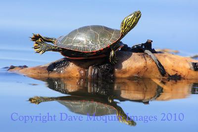 Painted Turtle- Fremont Lake
