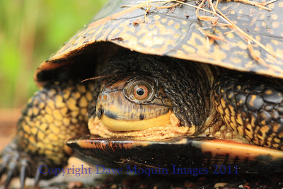 Blandings Turtle- E. Refuge Rd., Crex Meadows