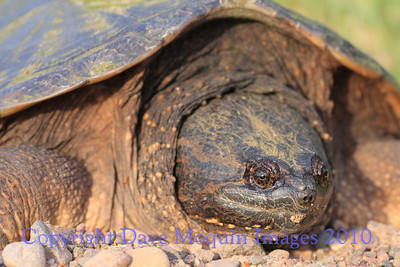 Snapping Turtle(female)- Upper North Fork Flowage, Crex Meadows