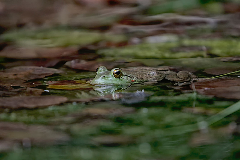 Green frog taken by nature photographer Jerry Dalrymple near Columbus, Ohio