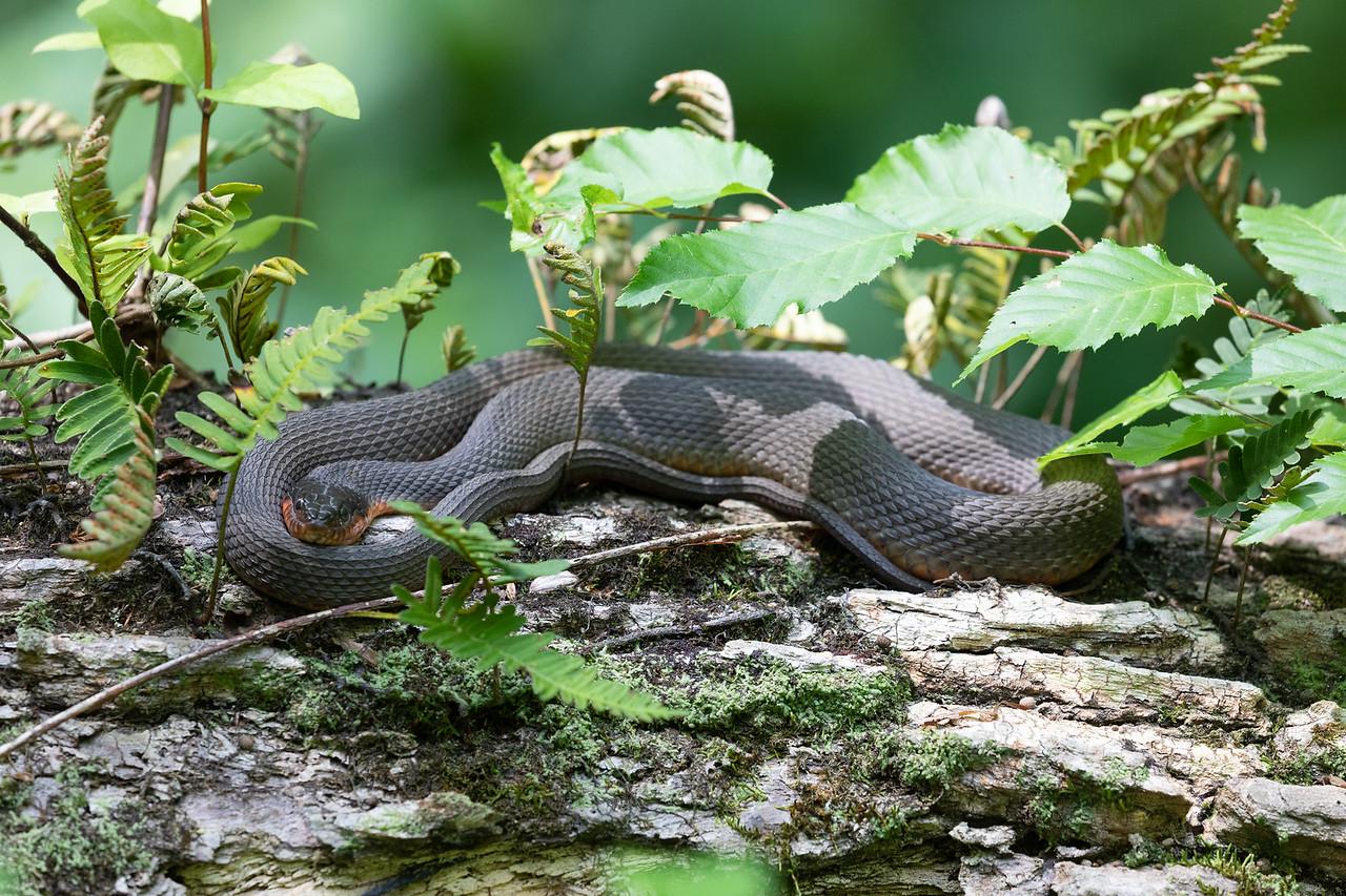 IMAGE: https://photos.smugmug.com/Animals/Reptiles/i-rVj8Cvt/0/504c7d4d/X2/IM5_2092-X2.jpg