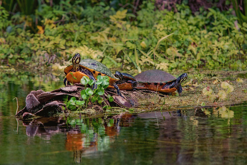 yellow belly slider