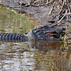 American alligator taken in a swamp on Merritt Island, FL by nature photographer Jerry Dalrymple