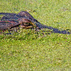 American Alligator in duckweed
