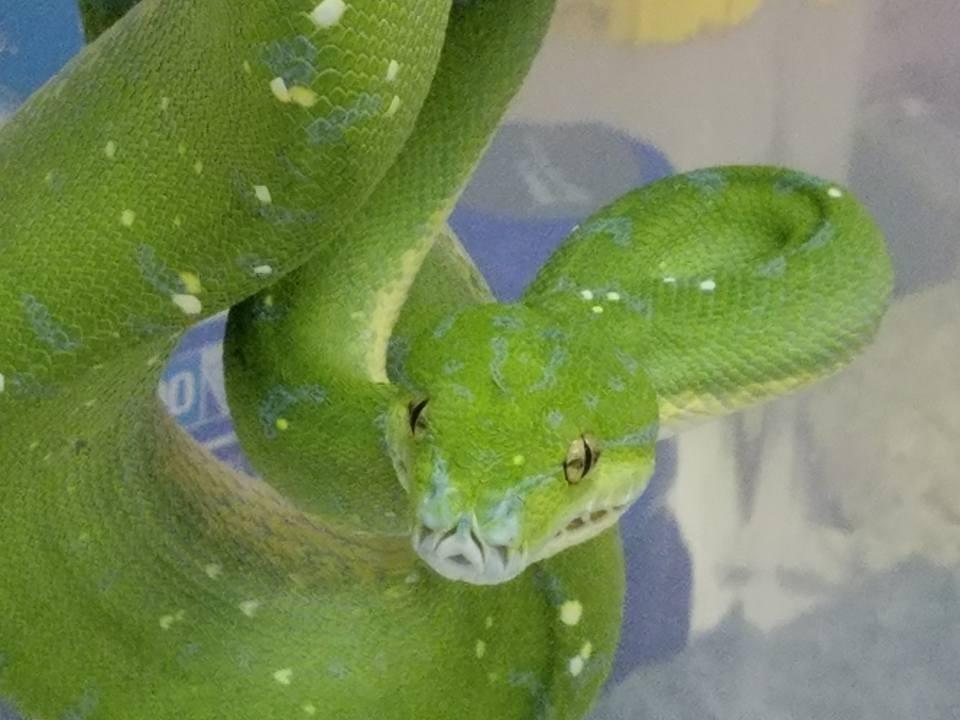 Green tree python; verdi
