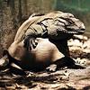 Rino Iguana