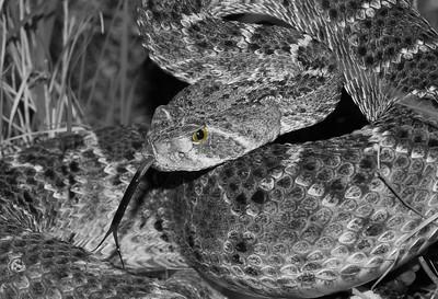 Western Diamondback Rattle Snake - Crotalus atrox