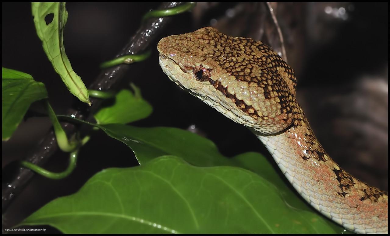 Malabar pit viper ( brown morph )