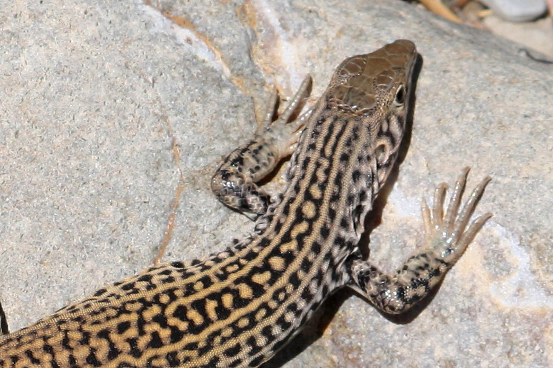 Great Basin Whiptail_2