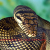 The amethyst or amethystine python (liasis ametistinus) , the largest snake in australia, can grow up to 25 feet and is very aggressive