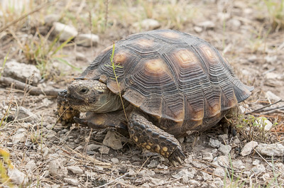 Texas tortoise - Gopherus berlandieri