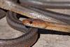 Baird's Ratsnake - Pantherophis bairdi