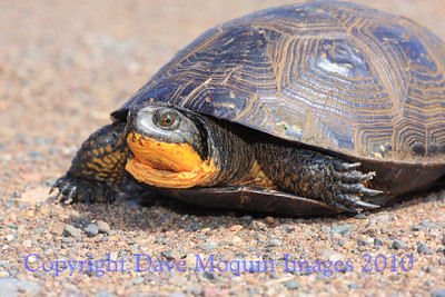 Blandings Turtle- Hickerson Rd.