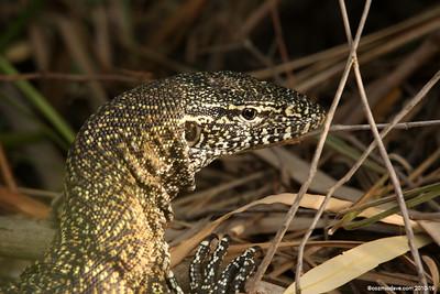Monitor Lizard (Varanus Indicus)