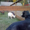 Dog who stares at goats.