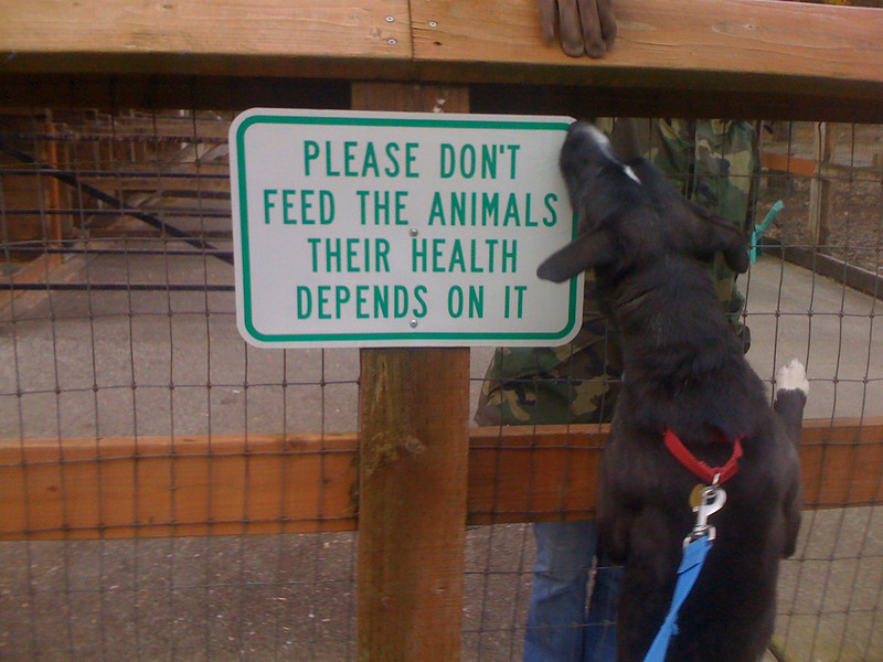 There is absolutely no aggression shown when meeting people through a fence.  A very different environment than the kennel - maybe it's because the park ranger is INSIDE the cage and Gamma is OUTSIDE.    l