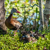 Black-Bellied Whistling Duck with Ducklings