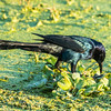 Boattail Grackle (Male)