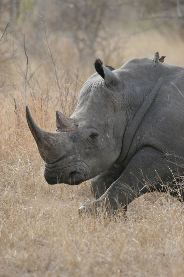 White rhino, Kruger National Park