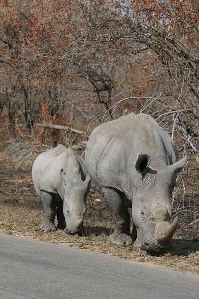 Rhino and her young in the Kruger National Park