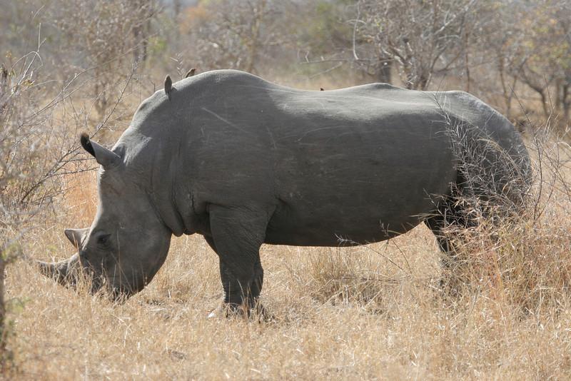 White rhino, Kruger National Park