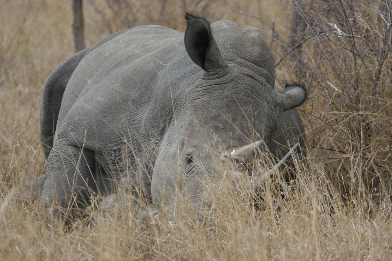 Sleeping white rhino in the Kruger National Park