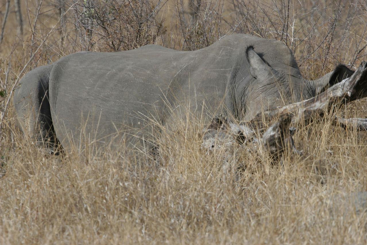White rihino sleeping, Kruger National Park