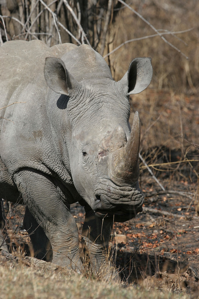 Baby rhino, Kruger National Park