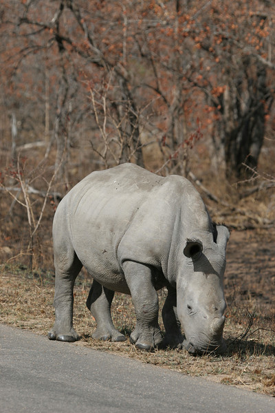 Baby rhino in Kruger National Park