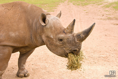 Hand feeding the Black Rhinoceros (Diceros bicornis)