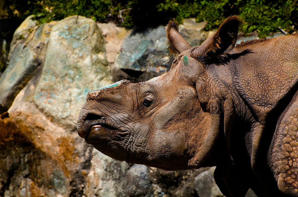 Asian Rhinoceros