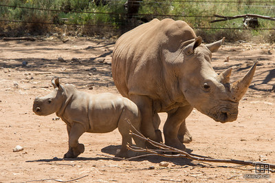 Young White Rhinoceros calf with its mother