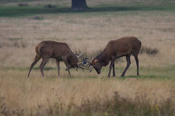 Red Deer Rutting