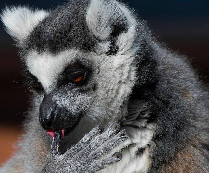 Ringtailed Lemur
