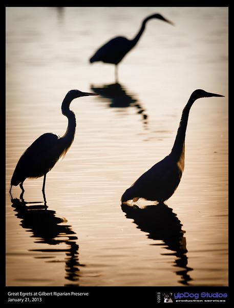 IMAGE: http://yipdog.smugmug.com/Animals/Riparian-Preserve/i-sNFrvSM/0/L/Great%20Egrets%20Silhouette-L.jpg