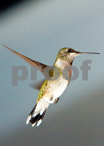 Hummingbird_20080825_0925