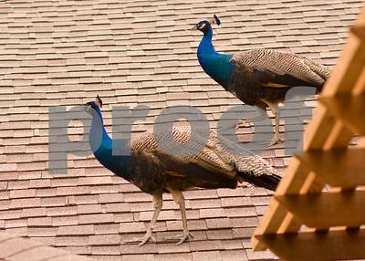 Peacocks_20080517_0003