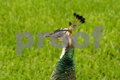 Peafowl_filtered