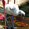 Baby_Flamingo