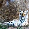 Tiger1_SYP2014
