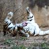 Tiger2_SYP2014