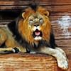 Lion_Yawn
